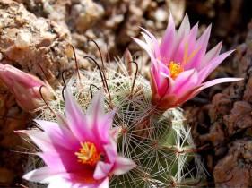 Cactus floridos