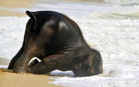 Elefante mari NO