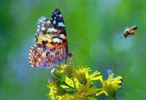 abeja-y-mariposa