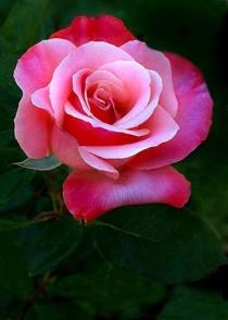 fnor-rosa