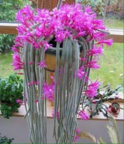 Cactus largos floridos
