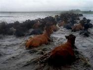 Vacas ahogándose