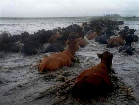 Vacas en Caá Catí intent salvar inundaciones Foto Fco Velar 2017